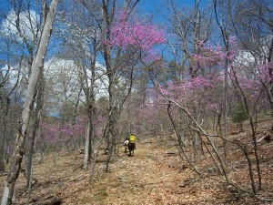 This was a long tunnel of blooming Red Bud trees and it was AWESOME riding through it.